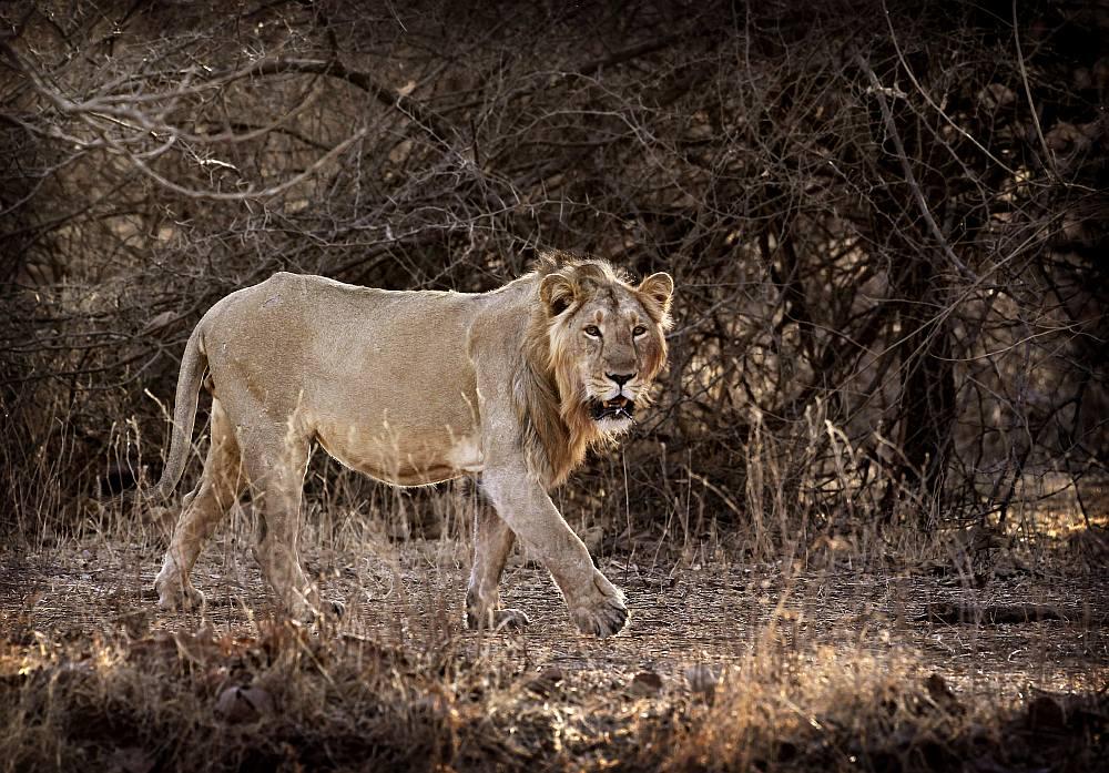 lion_gir20130415.jpg
