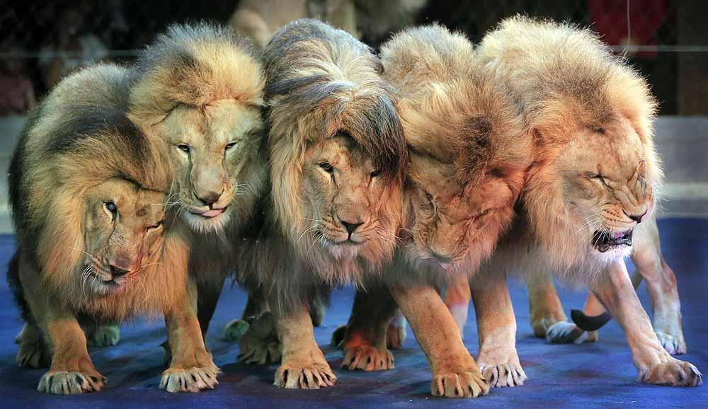 lions_20130610.jpg